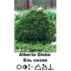 Ель Alberta Globe сизая