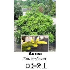 Ель Aurea сербская