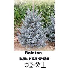 Ель Balaton колючая