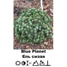 Ель Blue Planet сизая