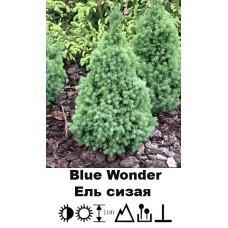 Ель Blue Wonder сизая