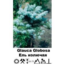 Ель Glauca Globosa колючая