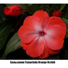 Бальзамин Новогвинейский Tamarinda Orange Orchid