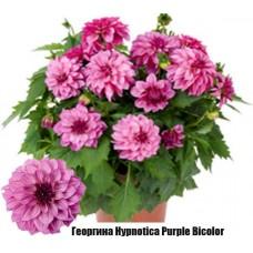 Георгина Hypnotica Purple Bicolor
