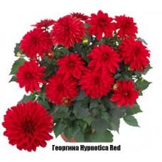 Георгина Hypnotica Red