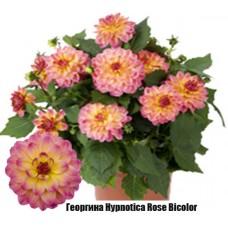 Георгина Hypnotica Rose Bicolor