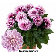 Георгина New York