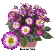 Георгина Yukon
