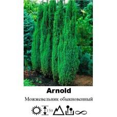 Можжевельник Arnold обыкновенный