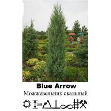 Можжевельник Blue Arrow скальный