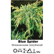 Можжевельник Blue Spider чешуйчатый