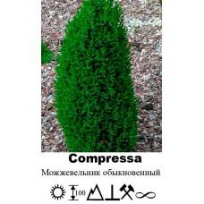 Можжевельник Compressa обыкновенный