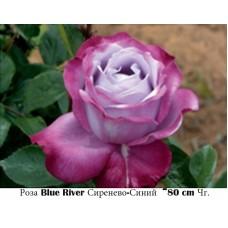 Роза Blue River