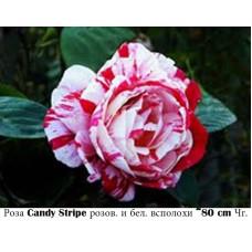 Роза Candy Stripe