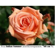 Роза Indian Summer