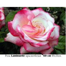 Роза Laminuette