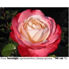 Роза Nostalgie