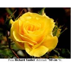 Роза Richard Tauber