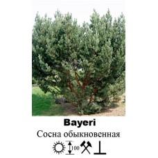 Сосна Bayeri обыкновенная