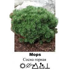 Сосна Mops горная