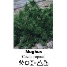 Сосна Mughus горная