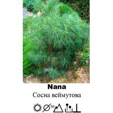 Сосна Nana веймутова