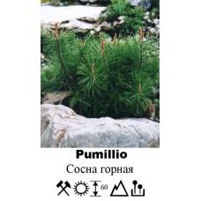 Сосна Pumillio горная
