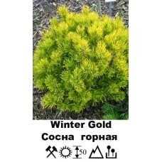 Сосна Winter Gold горная