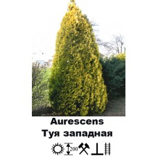Туя Aurescens западная