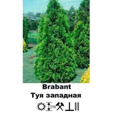 Туя Brabant западная