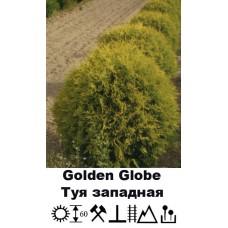 Туя Golden Globe западная