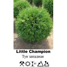 Туя Little Champion западная
