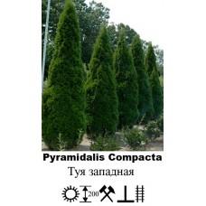 Туя Pyramidalis Compacta западная