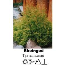 Туя Rheingod западная